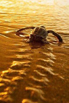 Leatherback hatchling meeting its destiny
