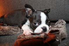 Boston Terrier, A very sleepy Zoey