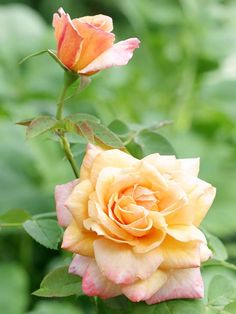 'Tahitian Sunset' Rose