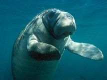 Florida manatee counts are at record numbers - over 6,250