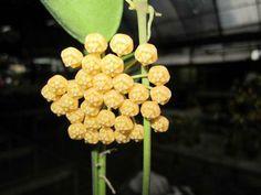 Dischidia rafflesiana (syn.major)