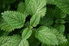 11 Plants That Repel Mosquitoes - LEMON BALM - a member of the mint family, the plant also known as horsemint and beebalm is a very easy plant for beginning gardeners to grow. Lemon Balm is a very hardy plant, it resists drought, and it grows well even in shade. It is a very fast growing and sometimes aggressive plant, so you might want to contain it to a pot, where you can move it to wherever you like to ensure that it doesn't take over your garden!