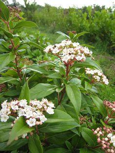 Viburnum tinus for screening of hut