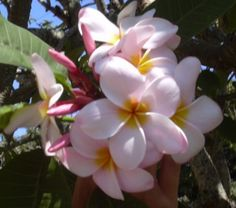 Pink Plumeria Cuttings Hawaiian 2 Pack Apx 9  12 inches long -- Continue to the product at the image link.