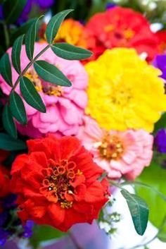 Caring for Zinnia Flowers
