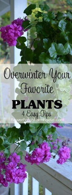 Some of my favorite plants to bring in for winter color are zonal Geraniums, come see how I keep them healthy and happy through the cold winter months and even get some blooms!