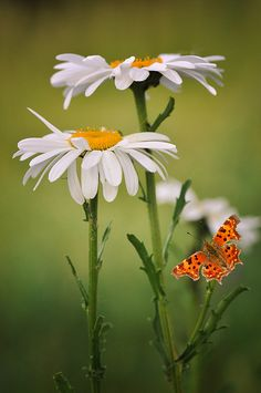 Orange butterfly on a daisy Butterfly Flowers, Beautiful Butterflies, My Flower, Flower Power, Beautiful Flowers, Orange Butterfly, Sunflowers And Daisies, Wild Flowers, Daisy Love