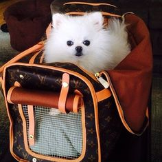 Marvelous Pomeranian Does Your Dog Measure Up and Does It Matter Characteristics. All About Pomeranian Does Your Dog Measure Up and Does It Matter Characteristics. Cute Dogs And Puppies, I Love Dogs, Spitz Pomeranian, Baby Pomeranian, Pomeranians, Baby Animals, Cute Animals, Lap Dogs, Dog Carrier