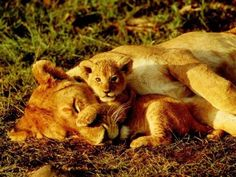 12 best lionceau images on pinterest big cats lion cub and