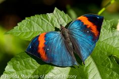 To welcome the Florida Gators back for fall, we're highlighting orange and blue butterflies in the Butterfly Rainforest this month! See more on display than at any other time of the year.