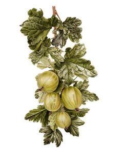 Botanical | Gooseberries