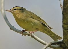 Worm-eating Warbler Photo