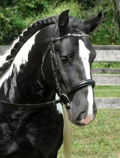 Beautiful pinto marking black and white horse with black and white braided mane. Pretty face with a long white blaze ending in his cute pink nose. Lovely horse photography.