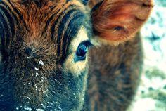 Vachettes-Chounes (cute cow and calf)