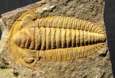 Trilobite Protolenus densigranulatus, Middle Cambrian, Jbel Wawrmast Formation (Tissafinian Stage), Morocco.  Quality trilobites from the Cambrian of Morocco are far less common than their Devonian counterparts. Only in the last few years have these trilobites become generally available. Ones of this quality preservation are quite uncommon.