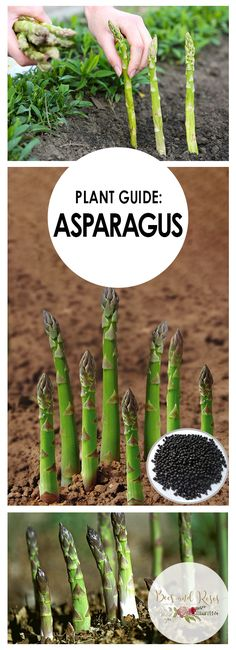 Plant Guide: Asparagus - Bees and Roses