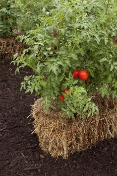 Tomato plants flourish in straw bales, and no weeds or weeding! Check out the straw-bale gardening movement that has become one of this summer's hottest gardening trends.