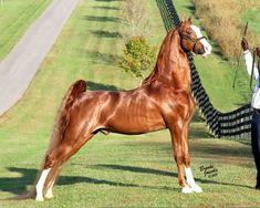 SA Tomcat...American Saddlebred