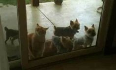 Cat Opens Door for Puppies (Video)