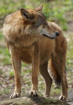 rare red wolf