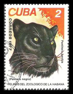 Cuba, Havana Zoo cats 1977 / Black panther [Panthera pardus] Melanistic leopards are the most common form of black panther in captivity and they have been selectively bred for decades in the zoo and exotic pet trades. Cuba, Statues, Small Wild Cats, Panthera Pardus, Caracal, In The Zoo, Silhouette, Leopards, Black Cats