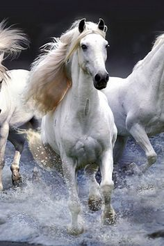 Beautiful white horses running through the water!. Please also visit www.JustForYouPropheticArt.com for colorful, inspirational art and stories and like my  Facebook Art Page  at www.facebook.com/Propheticartjustforyou Thank you so much! Blessings!