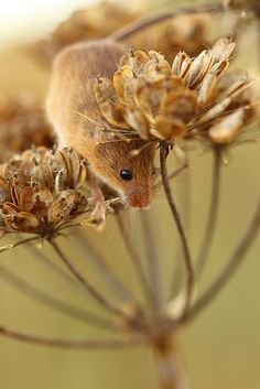 Harvest Mouse - curious looking little guy. I think he's going to jump. LOL
