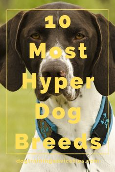 If you are planning to adopt a dog that will fit your lifestyle make sure that you choose the right breed. Here is a list of the 10 most hyper dog breeds. Hyper Dog, Dog Facts, Dog Training, Dog Breeds, Dog Lovers, Adoption, Lifestyle, Fit, Dogs