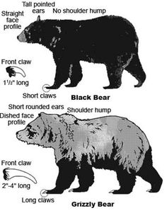 Can I just say if the bear is close enough for me to measure it's claws (or even see them) it better be sedated...