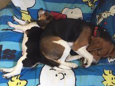 Beagles on their Snoopy Beach Towel!
