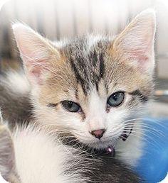 Port Washington, NY - Domestic Shorthair. Meet Helena, a kitten for adoption. http://www.adoptapet.com/pet/12187085-port-washington-new-york-kitten