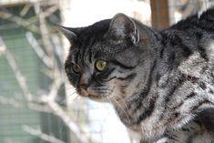 Kayla British Shorthair, Black Silver, Cats, Animals, Gatos, Animales, Kitty Cats, Animaux, Cat
