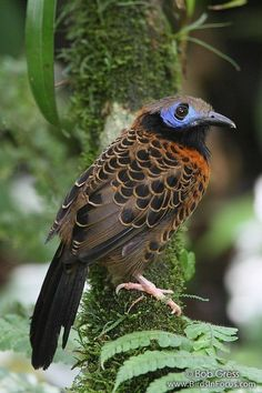 Ocellated Ant Bird