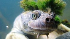 Who Said Punk Rock is dead? This punky reptile is an endangered Mary River Turtle. The lurid green Mohawk is actually a type of algae, growing on the turtle's skin Animals And Pets, Funny Animals, Cute Animals, Lovely Creatures, Sea Creatures, Belle Image Nature, Amazing Animal Pictures, Reptiles And Amphibians, Cool Pets