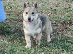 Looks like a wolf corgi! 11 Dog Breeds You Probably Didn't Know Existed Looks like a wolf corgi! Horses And Dogs, Animals And Pets, Dogs And Puppies, Cute Animals, Wolf Corgi, Dog Breed Info, Rare Dogs, Family Dogs, Best Dogs