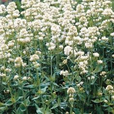 Jupiter's Beard White (white valerian) - putting this somewhere in the back, since it smells like dirty socks, but it's a very useful medicinal herb.