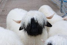 Cute Baby Animals, Farm Animals, Valais Blacknose Sheep, Billy Goats Gruff, Cute Lamb, Sheep Breeds, Cute Sheep, Baby Cows, Hobby Farms