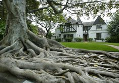 The stately Moreton Bay fig on the 1300 block of Carroll Avenue in the Angeleno Heights neighborhood of Los Angeles