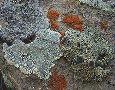 lichen, Alberta, Canada