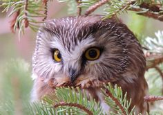 Saw Whet Owl by Claire Talbot