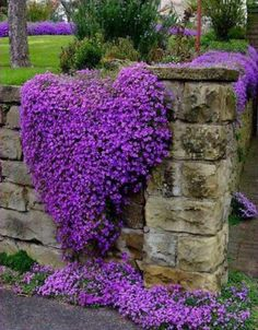 Cheap purple flowers seeds, Buy Quality perennial ground cover directly from China rock cress Suppliers: Cress,Aubrieta Cascade Purple FLOWER SEEDS, Deer Resistant Superb perennial ground cover,flower seeds for home garden Purple Flowers, Beautiful Flowers, Purple Hearts, Beautiful Gorgeous, Exotic Flowers, Yellow Roses, Pink Roses, Colorful Roses, Naturally Beautiful