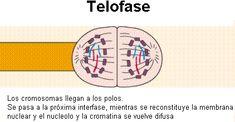 Resultado de imagen de telofase mitosis