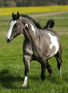 Beautiful grulla paint horse   photo: facebook.com/corinne.eisele