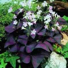 Oxalis Triangularis (Purple Shamrock) leaves are a stellar purple, with deep rose patterning and a zippy geometric shape.