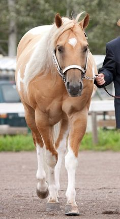 Palomino stallion named Tristan - from Dallaire Paints and Quarter horses