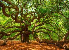 The Angel Oak in Charleston,South Carolina.   Photography -  Nature Fine Art Print by nataliemikaels, etsy