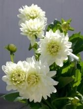 Dahlias, field-white - Wholesale Flowers for weddings and events – Wholesale Florist – Floral, Floral Supply, Flower Distributor
