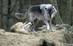 Beautiful Wolves, Beautiful Dogs, Animals Beautiful, Beautiful Creatures, Funny Animal Videos, Funny Animal Pictures, Funny Animals, Wolf Photos, Wolf Pictures