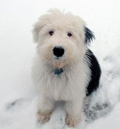 Old English Sheepdogs...I love them because I was raised with them. SO dump but soooo cute and loving.