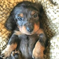 Everything I like about the Friendly Daschund Puppies Dachshund Funny, Dachshund Puppies, Dachshund Love, Pet Puppy, Puppy Dog Eyes, Terriers, Baby Animals, Cute Animals, Amazing Animals